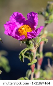 The flower of hoary rock-rose (Cistis incanus) - Shutterstock ID 1721894164