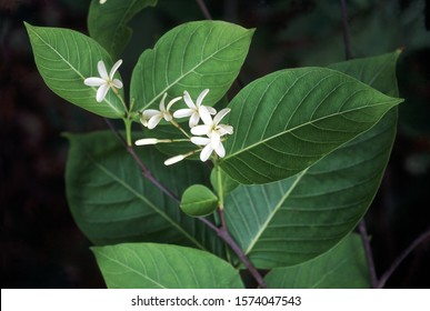 Flower. Holarrhena Antidysenterica. Family: Apocyanaceae. A small tree which is very useful medicinally. An extract of the root bark is an efficient medicine against amoebic dysentery.