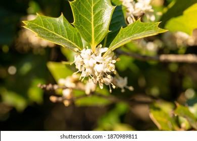Flower of holly olive - Osmanthus heterophyllus - are bloom in Fukuoka prefecture, JAPAN.