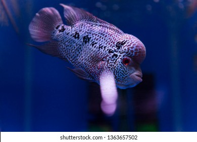 Flower Horn Fish Images, Stock Photos & Vectors | Shutterstock