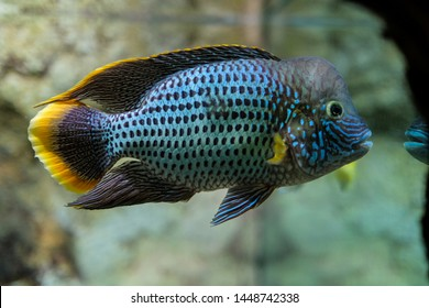 Flower Horn Fish Images, Stock Photos & Vectors | Shutterstock