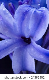 flower of hyacinth with dew