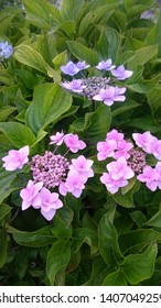 The flower of Hydrangea is like a litmus paper. The pale blue flower is made from acid and the pink one is made from alkali.