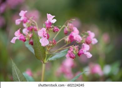 Flower Impatiens glandulifera