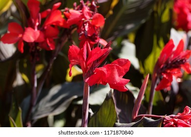 Flower of an Indian shot (Canna indica)