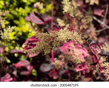 Flower of Iresine Herbstii, or Herbst's Bloodleaf, other name is Chicken Gizzard. The plant has vibrant red leaves and small white flowers. - Shutterstock ID 2005487195