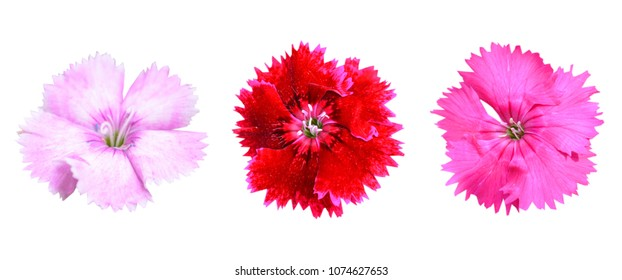 flower of isolate dianthus blooming head