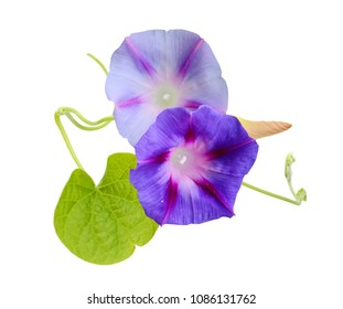 flower of isolate ipomoea, glory morning blooming