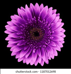 flower isolated gerbera pink-purple  on the black  background.   Closeup.   For design.  Nature.