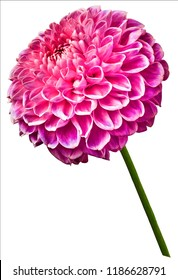 flower isolated pink dahlia on a white  background. Flower on the stem. Closeup.  Nature.