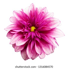 flower isolated pink dahlia on a white  background with clipping path.  For design.  Closeup.  Nature.