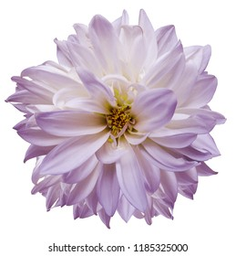 flower isolated.  purple-white dahlia on a white background. Flower for design. Closeup. Nature.