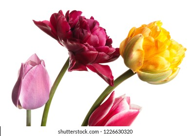 Flower isolated. Tulips on a white background