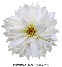 flower isolated.white dahlia on a white background. Flower for design. Closeup. Nature.