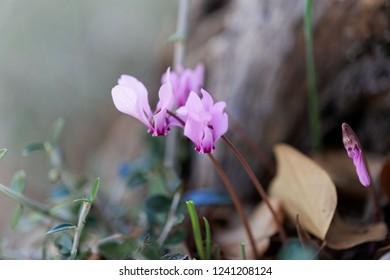 Flower of an ivy leaved cyclamen (Cyclamen hederifolium), a cyclamen from the Mediterranean region.