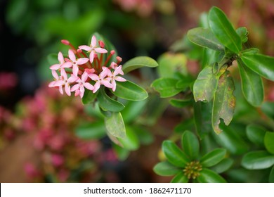 A flower of ixora chinensis with a natural background, Ixora chinensis, commonly known as Chinese ixora, is a plant species of the genus Ixora.