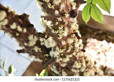 Flower of the Jabuticabeira. Fruit Jabuticaba