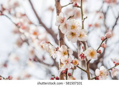 flower of Japanese plum - ume