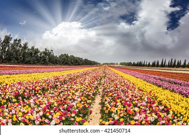 Flower kibbutz near Gaza Strip. The sun's rays shine from cumulus clouds.  Spring flowering buttercups