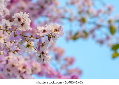 flower of Lagerstroemia on a background sky