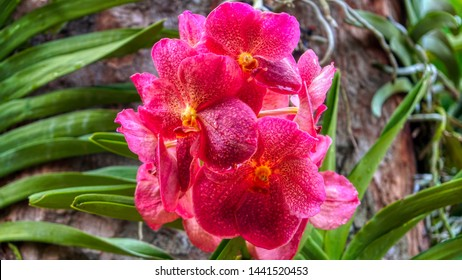 Flower with large petals. Extreme red and pink orchid from National Orchid Garden, Singapore