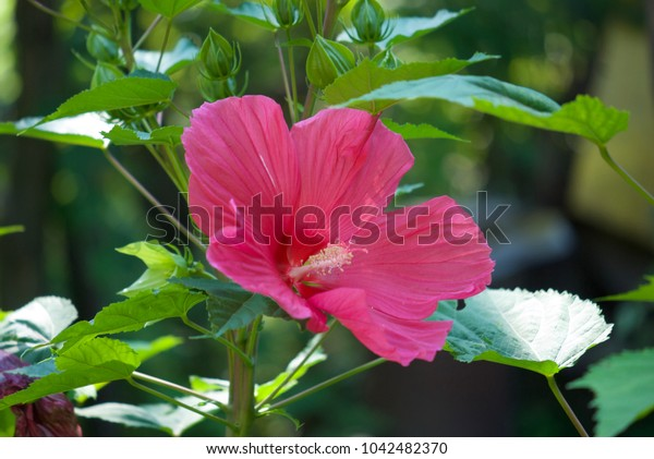 flower of large pink hibiscus in the garden