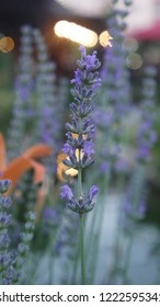 Flower lavender for good background