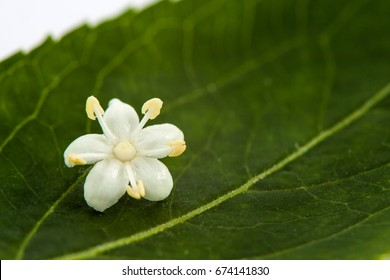 Flower and leaf of elderflower (Sambucus nigra)