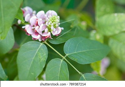 Flower and leaves of american groundnut