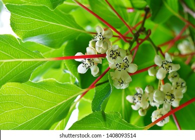 Flower and leaves of the baby kiwi berry fruit (actinidia arguta) growing on the vine