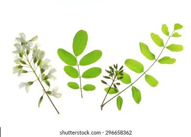 Flower, leaves of the Black Locust, in Europe also called False Acacia (Robinia pseudoacacia)