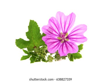 Flower, leaves and buds of mallow, Malva sylvestris