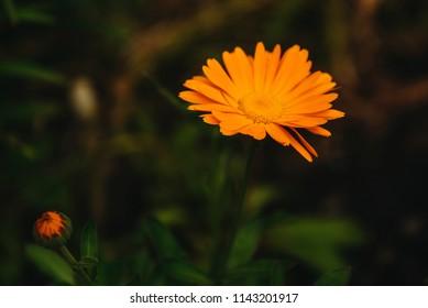 Flower with leaves Calendula (Calendula officinalis, pot, garden or English marigold) on blurred green background. Calendula on the sunny summer day. Close up of Medicinal Calendula herb.