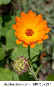 Flower with leaves Calendula (Calendula officinalis, pot, garden or English marigold) on blurred green background.