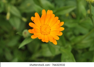 Flower with leaves Calendula (Calendula officinalis, pot, garden or English marigold) on blurred green background. Calendula on the sunny summer day. Close up of Medicinal Calendula herb.