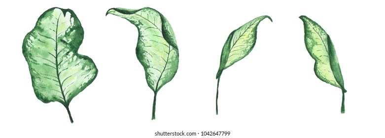 flower leaves of calla painted by hand in watercolor, isolated on white background