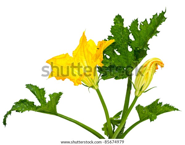 flower and leaves no zucchini isolated white background