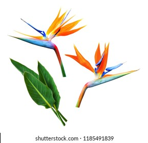Flower and leaves of strelitzia or bird of paradise isolated on white background.