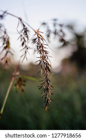 Flower of a lemongrass plant (Cymbopogon spp.)