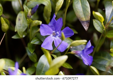 Flower of a lesser periwinkle (Vinca minor)