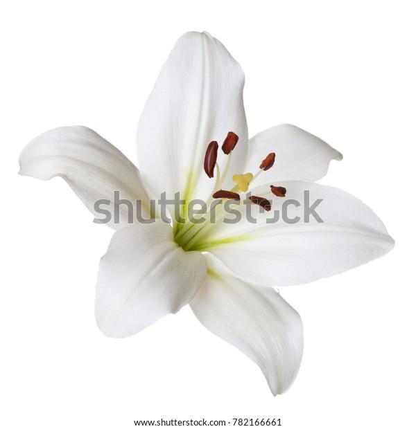 Цветочная светлая лилия изолирована на белом фоне.