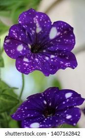 flower like night sky petunia