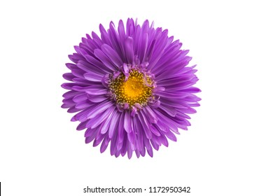 flower lilac asters isolated on white background