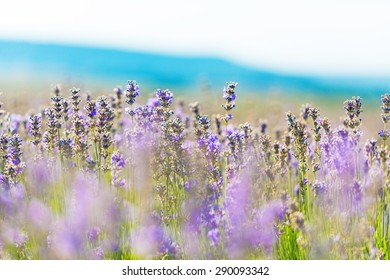 Flower, lilac, background.