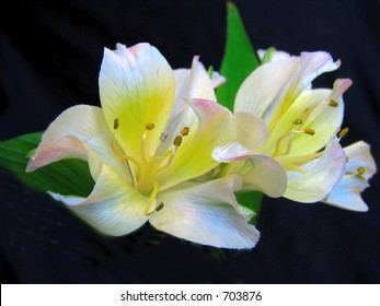 flower lillies on black