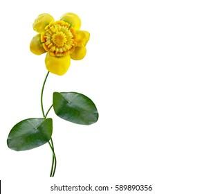 Flower lily isolated on white background. nenuphar