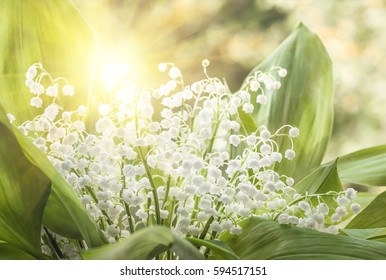 Flower lily of the valley growing in forest in spring closeup, natural background.