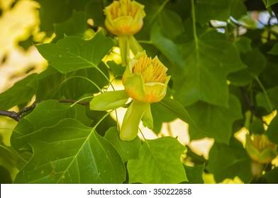 Flower Liriodendron Tulipifera (Tulip Tree, American Tulip Tree, Tuliptree, Tulip Poplar, Whitewood, Fiddle-tree, Yellow Poplar)