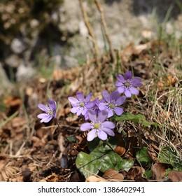 flower of  liverleaf in spring, Hepatica nobilis specie