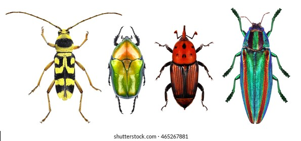 Flower long-horn beetle, flower chafer, red palm weevil and jewel beetle (metallic wood-boring beetle) isolated on a white background. Macro